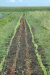 weeded lettuce