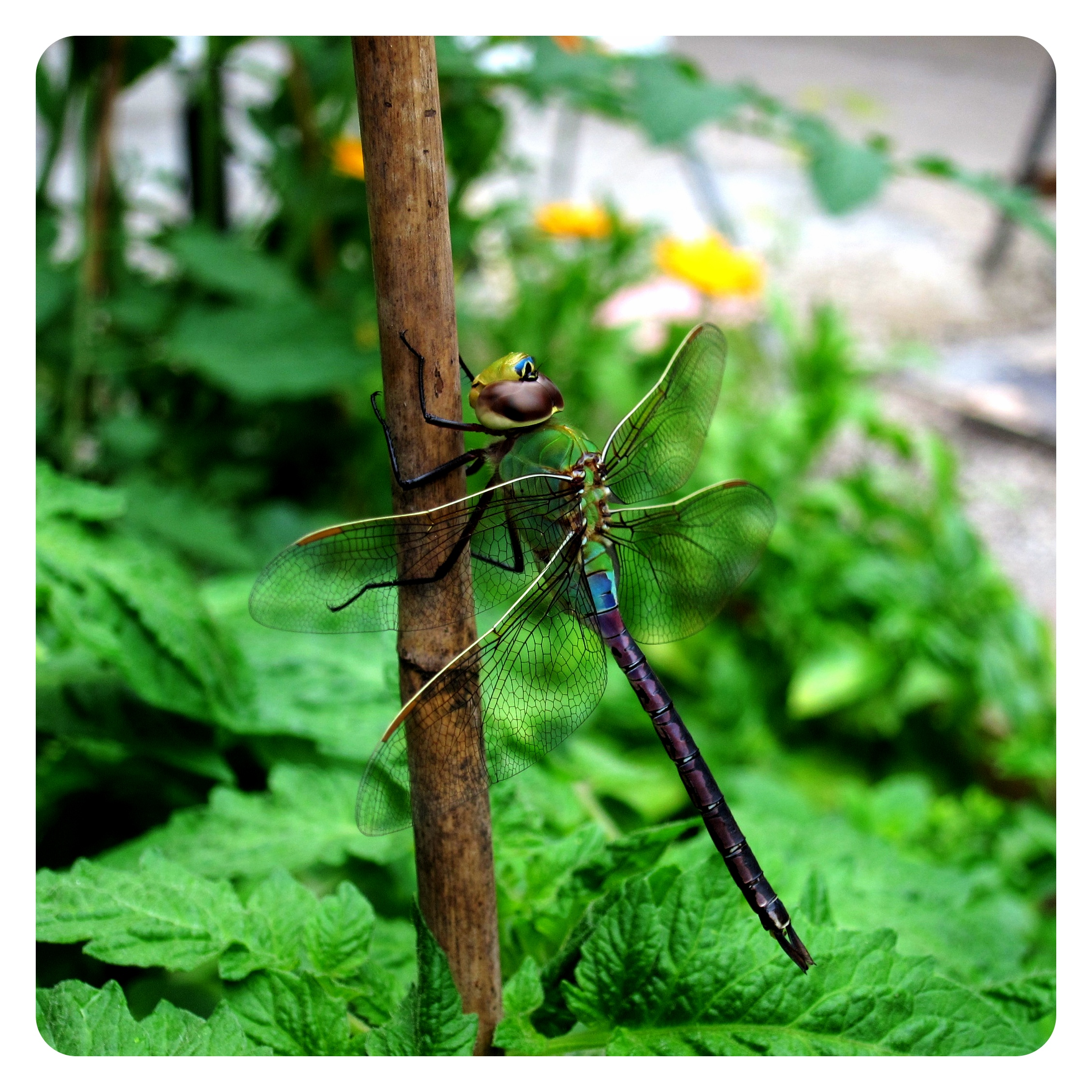 moss green architect dragonfly